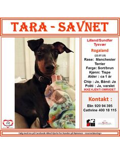 SAVNET : Lilland/Sundfør Tysvær Rogaland. 22.07.15. . NAVN : Tara. . RASE : Manchester Terrier. . FARGE : Sort/brun. . KJØNN : Tispe. . ALDER : ca 1 år. . CHIP : Ja. . BÅND :Halsbånd og litt av snora på et flexibånd etter seg . . POLITI/FALCK/VIKING : Ja. . ' KONTAKT : Kjersti 980 71 775 / 454 46 464.  HJERTEkontakt : Nina 470 69 414 / Anne Gry 413 05 841. .