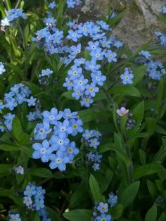 """""""Forget me nots""""I just love them.  They are truly one of my favorite flowers."""