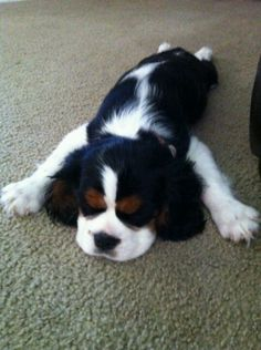 King Charles Cavalier Spaniel. This is so going to be my.next dog! Love that face