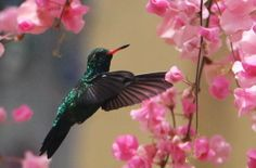 Glittering-bellied Emerald (Chlorostilbon aureoventris) | Glittering-bellied Emerald (Chlorostilbon aureoventris) A woodnymph in ...