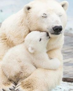 One of the sweetest photos seen with polar bear and her baby in their animal world. One of the sweetest photos seen with polar bear and her baby in their animal world. Amazing Animals, Animals Beautiful, Cute Wild Animals, Funny Animals, Photo Calin, Tier Zoo, Tier Wallpaper, Baby Polar Bears, Baby Cubs