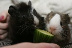 little guinea pig sweeties