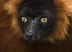 — Related to monkeys and apes, lemurs are...