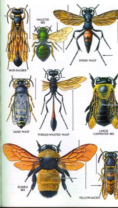 The Hymenoptera Order includes: Sawflies, Wasps, and Bees. Bees are more robust and hairy than wasps