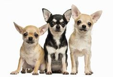 How to Train Chihuahua Puppies Types Of Chihuahua, Apple Head Chihuahua, Chihuahua Puppies, Chihuahuas, Pet Corner, Lap Dogs, Free Dogs, Dog Coats, Dog Supplies