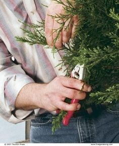 Grow Your Own Conifers from Hardwood Cuttings | Fine Gardening
