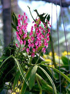 dyakia orchid flower
