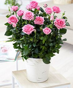 Sale 100 pcs Rose Bonsai Perennial Rose Flowers Indoor Bonsai Flower Rose Tree Fragrant Climbing Plants For Home Garden Planting Peony Rose, Rose Vase, Rose Flowers, Home Garden Plants, House Plants, Comment Planter Des Roses, Rose Flower Pictures, Indoor Bonsai, Rose Trees