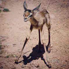 Gerenuk was born on April 16...