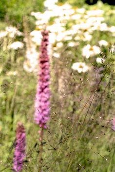 Sporobolus heterolepis (Tautropfengras) Die 7 schönsten Pflanzenkombinationen mit Liatris spicata (Ährige Prachtscharte). Im Sussex Prairie Garden ist sie der Star unter den Pflanzen. Lese jetzt meinen neuen Blogpost zu genau diesem Thema. Gartengestaltung und Pflanzenverwendung mit dem Blog irislandschaften.ch