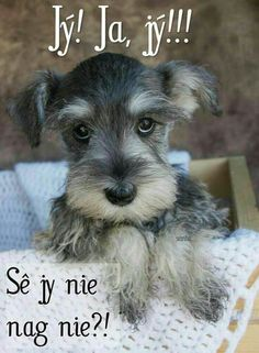 Schnauzer dog breed is originated from Germany. 20 Reasons To Never, Ever Adopt A Schnauzer Dog Breed Mini Schnauzer Puppies, Miniature Schnauzer Puppies, Schnauzers, Black Schnauzer, Schnauzer Grooming, Standard Schnauzer, Beautiful Dogs, Animals Beautiful, Cute Puppies
