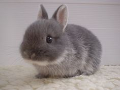 This article is based on the Désencyclopédian text Petit lapin mignon, made freely available to French-speaking wildebeest gnus under the GFDL. Cute Baby Bunnies, Cute Cats, Cute Babies, Funny Bunnies, Fluffy Bunny, Cute Bunny Pictures, Animal Pictures, Funny Pictures, Animals And Pets