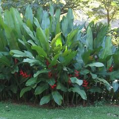 Heliconia Firebird Clump Photo: This Photo was uploaded by meckms1. Find other Heliconia Firebird Clump pictures and photos or upload your own with Phot...