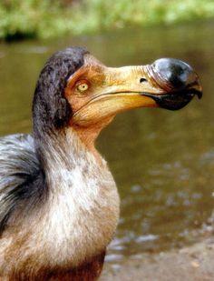 Le Dodo d'Alice au Pays des Merveilles ! / Cet oiseau qui ne volait pas a disparu. Il vivait dans une île de l'Océan indien près de l'île Maurice. / An extinct and flightless bird that lived on an island in the indian Ocean near Mauritius.