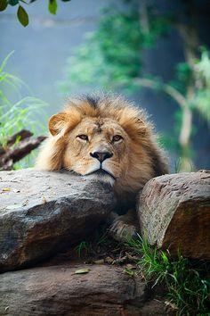 Animais selvagens #animals #leão
