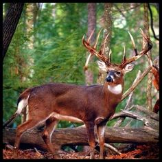 Mega-Giant with Double Drop Tines - My DREAM BUCK!!! I love the Double Drop Tines.