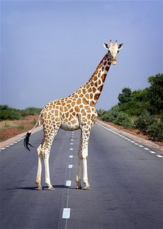 A giraffe pauses while crossing a road outside Niger's capital, Niamey.