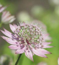 Astrantia florence