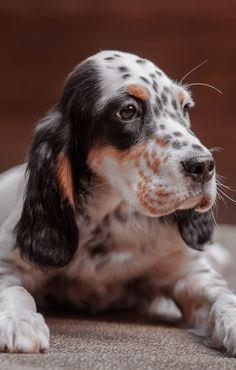 Cute Puppies, Cute Dogs, Dogs And Puppies, Beautiful Dogs, Animals Beautiful, English Setter Puppies, Irish Terrier, Dog Rules, Retriever Puppy