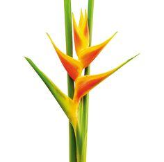 Heliconia Caribaea x bihai Jacquinii - Flores Tropicales y Exóticas de Colombia