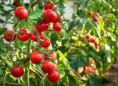 Epsom Salt Tomato Plants, Growing Tomato Plants, Tomato Seedlings, Tomato Seeds, Growing Tomatoes, Tomato Fertilizer, Plant Diseases, Seed Germination, How To Grow Taller