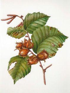 botanische zeichnung haselnuss - Google Search