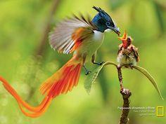 Papa-mosca alimentando o filhote - foto: Zahoor Ahmed