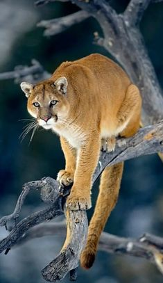 Mountain Lion Medicine: Leadership