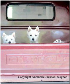 Westies in a pink Chevy~love the puppy nose peeking out! 969369_4941424337022_74210655_n.jpg 779×944 pixels