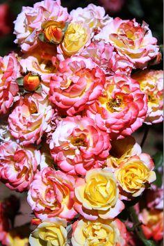 roses du jardin bio aromatique d'ourika - marrakech - morocco