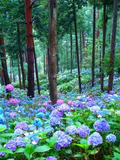 WOW a forest full of Hydrangea.....stunning...I want to walk through it