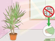 5 Ways to Care for a Madagascar Dragon Tree - wikiHow Madagascar Dragon Tree, Green Bedroom Decor, Low Maintenance Indoor Plants, Old Trees, Prim Christmas, Colorful Trees, Winter Trees, Scandinavian Christmas, Sympathy Cards