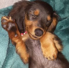 Long Haired Dachshund Long-haired miniature dachshund puppy waving and smiling in his sleep. Long Haired Miniature Dachshund, Long Haired Dachshund, Miniature Dachshunds, Dachshund Breed, Dachshund Love, Daschund, Dapple Dachshund, I Love Dogs, Cute Dogs