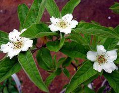 Mespilus germanica - Medlar  Dwarf variety, shrub to 6-ft; hardy to -35-degrees; self-fertile.