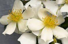 Rosas Art - Rambler Rose (rosa cooperi)  by Adrian Thomas