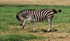orange coloration between stripes