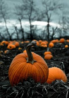 A very sincere-looking pumpkin patch - Linus take note.