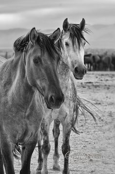 Wild Mustangs. I can't even begin to understand how beautiful the one on the right is. I want to see a horse like that in person