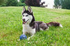 Siberian Husky outdoors, on the green grass with his ball via Colourbox