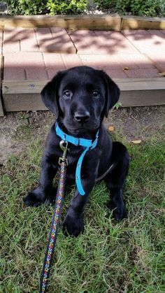 ...Black lab puppy