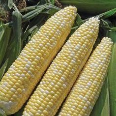 Allure Corn Seeds (Zea mays) + FREE Bonus 6 Variety Seed Pack - a $30 Value!