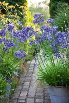 Agapanthus 'Navy Blue' Plants Great for borders or clumpings Evergreen all year. With their strong stems and beautiful large heads, agapanthus make a structural and graceful addition to any border. Container Plants, Container Gardening, Back Gardens, Outdoor Gardens, Garden Paths, Garden Landscaping, Walkway Garden, African Lily, Blue Plants