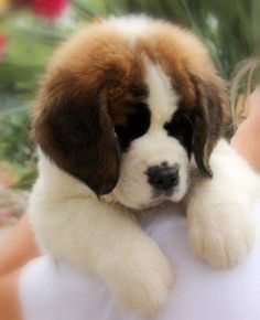 South Africa Saint Bernard Puppies (St Bernard) READY NOW!!!!8 ...