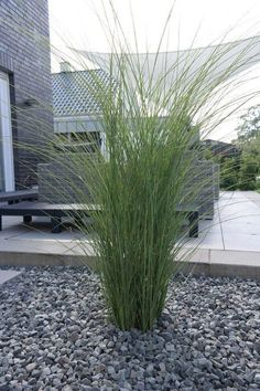 Garden Chinese Reed Gracilimus - Buy Miscanthus sinensis Gracillimus online cheap Informations About Garten-Chinaschilf Gracilimus - Miscanthus sinensis Gracillimus günstig online kaufen Pin You can e Trees Draw, Modern Landscaping, Backyard Landscaping, Small Gardens, Outdoor Gardens, Miscanthus Sinensis Gracillimus, China Garden, Pallets Garden, Land Scape