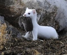 Baby Weasel   Long-tailed Wasel having caught the prey first catch of the day