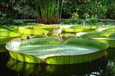 victoria royal giant waterlily by Jantiff-Stocks on DeviantArt Water Flowers, Water Lilies, Lotus Flowers, Giant Water Lily, Beautiful World, Beautiful Places, Wonderful Places, Lily Pond, Worlds Largest