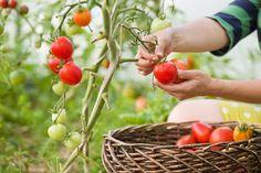 Rajčata se obvykle pěstují samostatně. Organic Mulch, Grow Organic, Organic Farming, Organic Gardening, Vegetable Gardening, Growing Tomatoes, Growing Herbs, Growing Vegetables, Soil Improvement