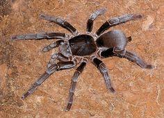 Nazwa łacińska:  Hysterocrates gigas; nazwa angielska: Cameroon Red Baboon. Jest to ptasznik starego świata, a co za tym idzie charakteryzuje się dużą siłą oraz mocnym jadem. Jest bardzo agresywny i szybki. Należy do pająków podziemnych. Kopie podziemne korytarze i nory. Charakterystyczna cecha to grubsza od pozostałych ostatnia para odnóży, które służą do kopania. Ciekawostką jest, że pająk potrafi nurkować i polować pod wodą.