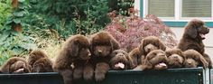 "Whoa baby now this is a ""wagon full"" The Royal Flush Gang is an even dozen of gorgeous brown newfie pups!"