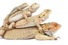 I used to hate reptiles but thanks to my animal loving boyfriend..I love them now! Bearded dragons anyway...still hate snakes, will always hate snakes.